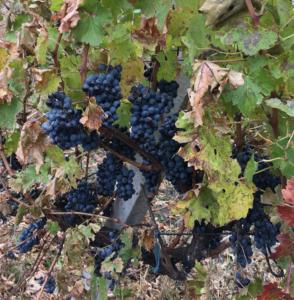Late harvest of Cabernet-Sauvignon in November 2017