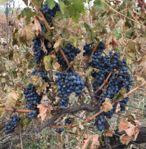 Late harvest of Cabernet-Sauvignon in November 2017